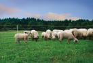 siatka-dla-owiec-dl-50m-wys-90cm.3