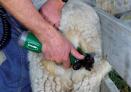 akumulatorowa-mszynka-do-strzyzenia-owiec.3
